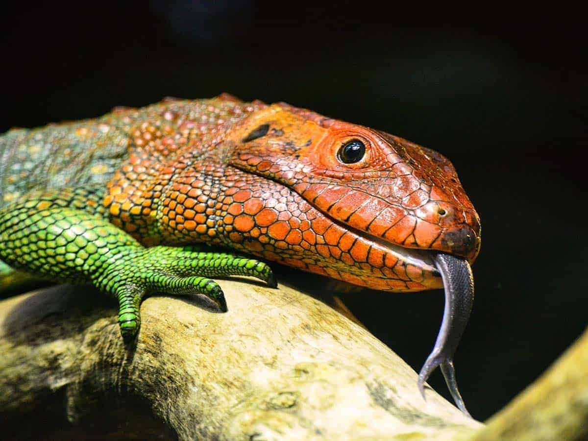 How Long Can A Lizard Live Without Food