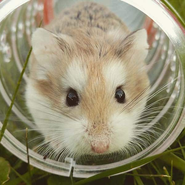 Importance Of Water To Your Hamster