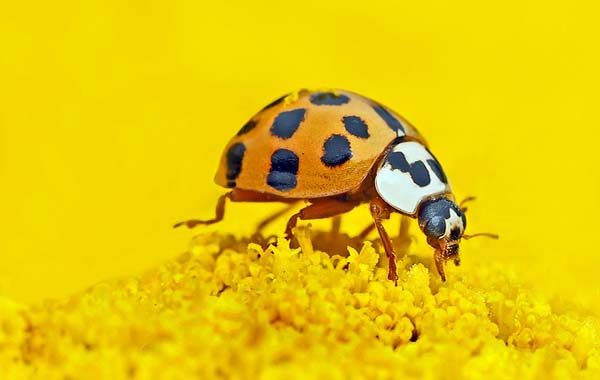 What Is The Effect Of Beetles On The Economy
