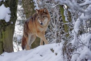 What Is The Largest Wolf Species On The Planet