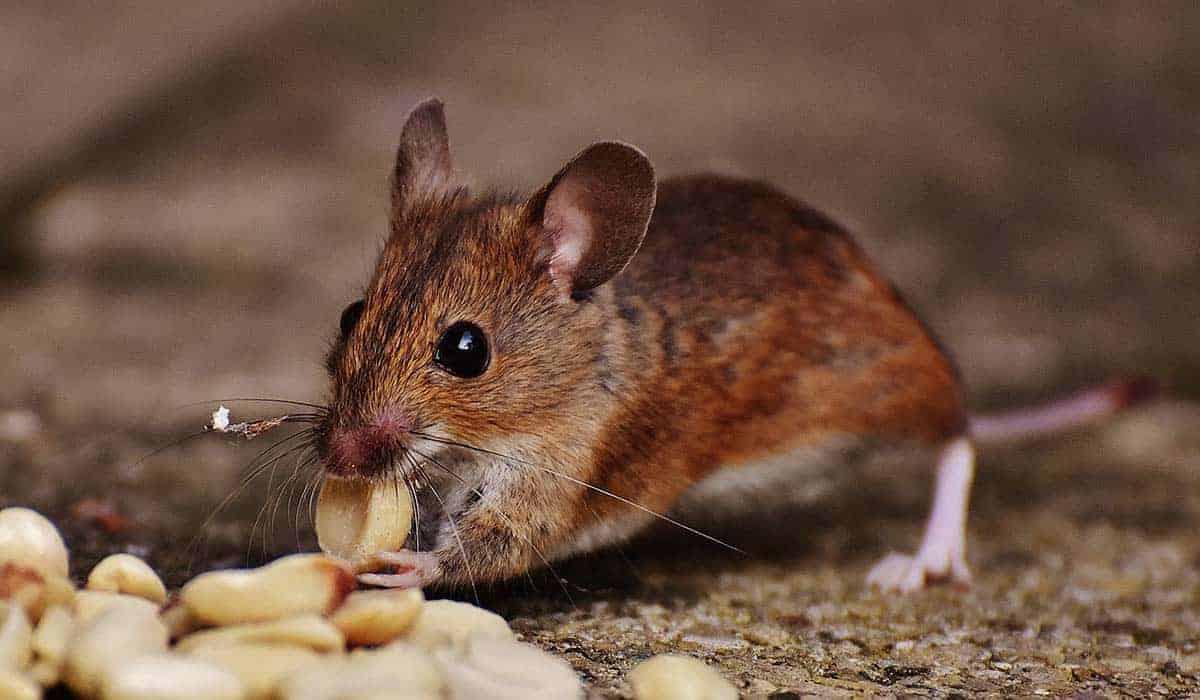 Does Mice Like Peanut Butter