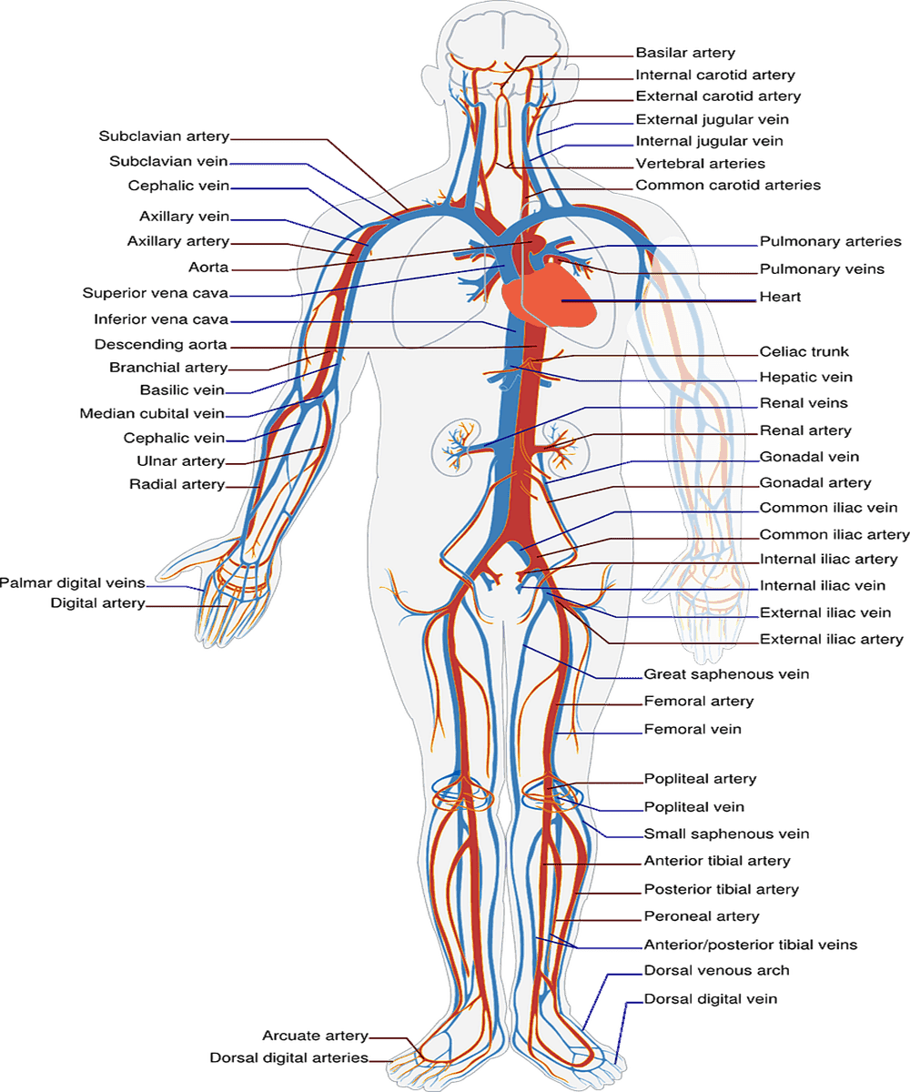 Structural Difference Between Arteries And Veins