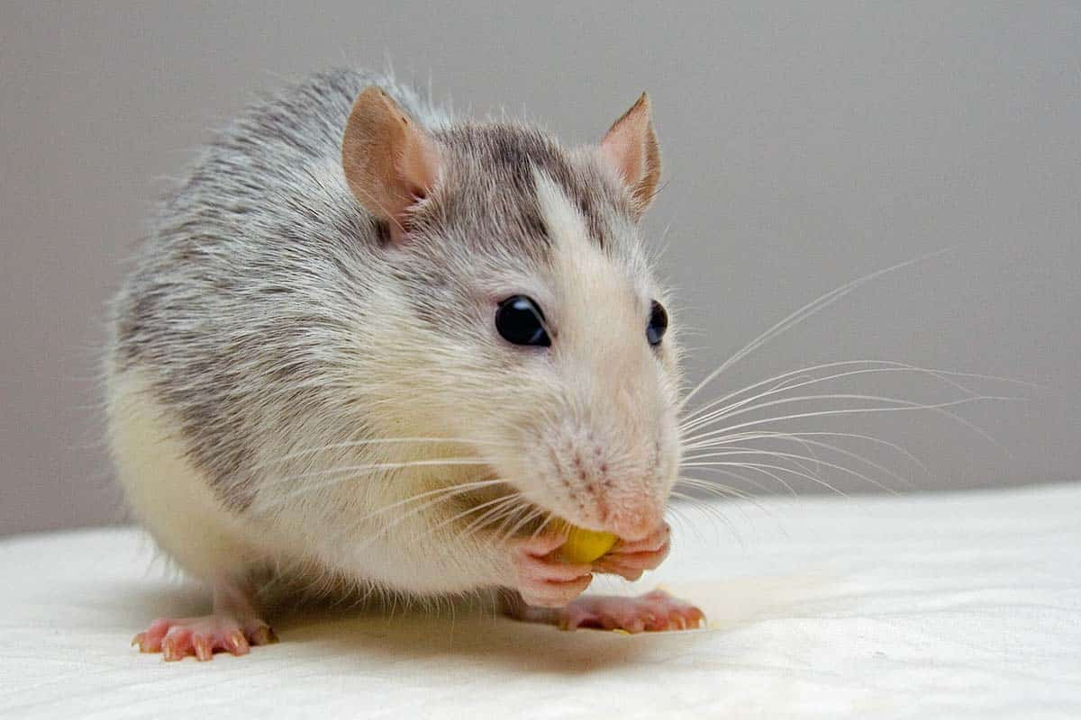 3 DIY Ways To Get Rid Of Mice And Rats In Your Home