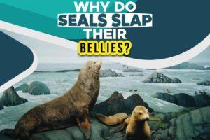 Why Do Seals Slap Their Bellies