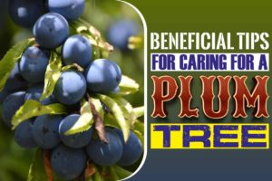 Beneficial Tips for Caring for a Plum Tree